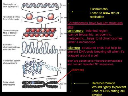 Euchromatin Loose to allow txn or replication Heterochromatin Wound tightly to prevent Lose of DNA during cell division telomere Chromosomes have two key.
