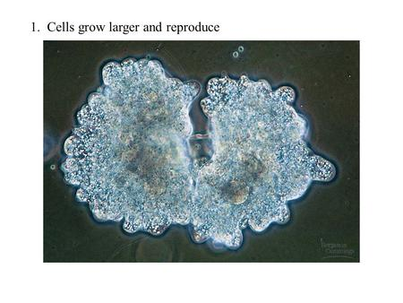 1. Cells grow larger and reproduce. 2. Development of whole organism from single cell (zygote)