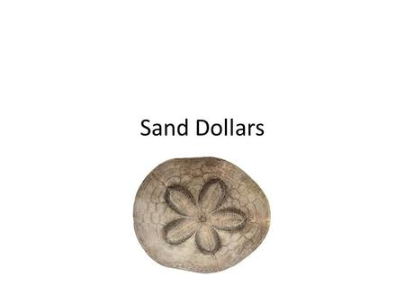 Sand Dollars. Sand Dollars: part of the Echinoderm phylum Closely related to sea urchins Class Echinoidea: sea urchins & sand dollars.