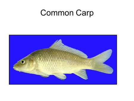 Common Carp. Golden Shiner Channel Catifsh Blue Catfish.