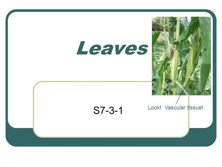 Leaves S7-3-1 Look! Vascular tissue!. 1 main function of a leaf Make food It uses the process photosynthesis to make food for the plant (more on this.