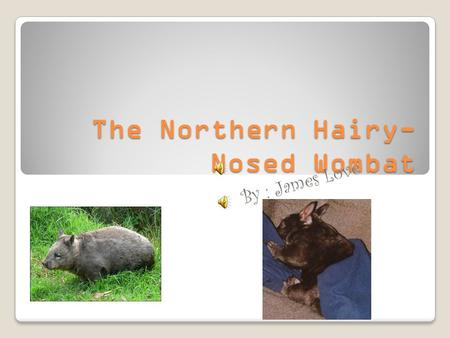 The Northern Hairy- Nosed Wombat B y : J a m e s L o v e.