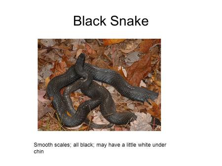 Black Snake Smooth scales; all black; may have a little white under chin.