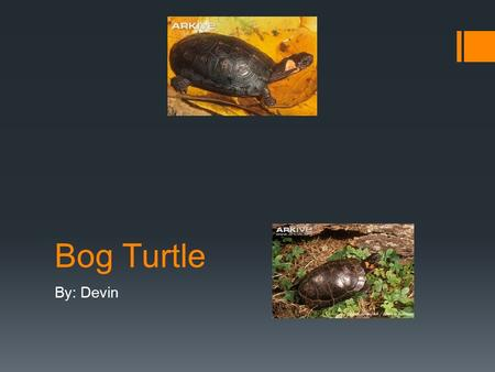 Bog Turtle By: Devin. Biome, Ecosystem, And Habitat  The Bog Turtle's Biome, Ecosystem, or Habitat is Eastern U.S.  They live in bogs, marshlands, and.