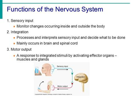 Functions of the Nervous System 1. Sensory input  Monitor changes occurring inside and outside the body 2. Integration  Processes and interprets sensory.