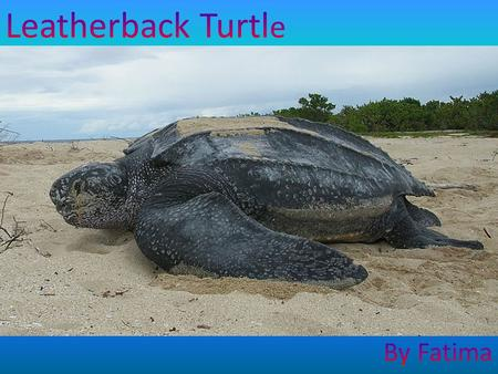The leatherback turtle can be found in the Atlantic, Pacific and Indian Oceans, as well as the Mediterranean Sea. Adult leatherback turtles can be found.
