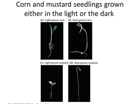Corn and mustard seedlings grown either in the light or the dark.