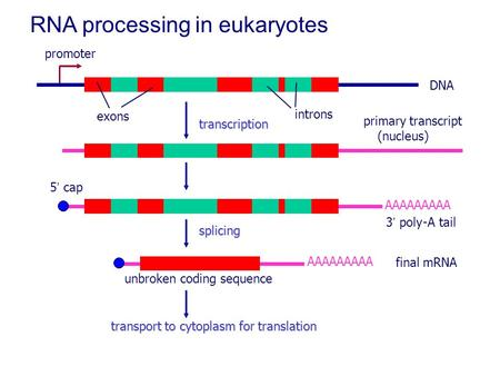 RNA processing in eukaryotes DNA promoter exons introns primary transcript (nucleus) 5' cap AAAAAAAAA 3' poly-A tail AAAAAAAAA splicing transcription unbroken.
