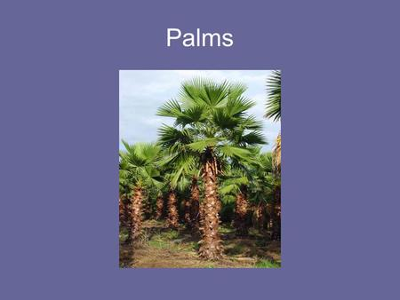 Palms. Most Widely Cultivated Urban Trees Southern Magnolia (Magnolia grandiflora) Blue Gum (Eucalyptus globulus) Mexican Fan Palm ( Washingtonia robusta)