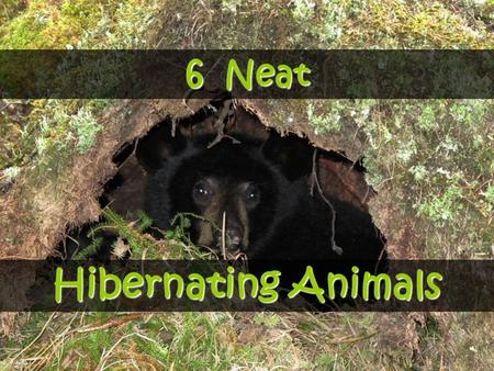 6 Neat Hibernating Animals. What is Hibernation? It is a state of inactivity or sleep that allows many animals to survive winter or seasons that bring.