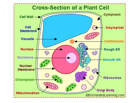 amyloplast - an organelle in some plant cells that stores starch. Amyloplasts are found in starchy plants like tubers and fruits. ATP - ATP is short for.
