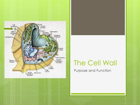 The Cell Wall Purpose and Function. What is a Cell Wall ? A membrane of the cell that forms external to the cell membrane whose main role is to give cells.