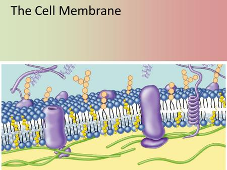 The Cell Membrane Phospholipids Fatty acid Phosphate Phosphate head – hydrophilic Fatty acid tails – hydrophobic Arranged as a bilayer Aaaah, one of.