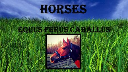 Horses Equus ferus caballus. Horse History Horse history can be traced back to a prehistoric animal known as the Candylarth which was about the size of.