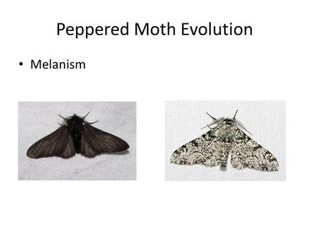 Peppered Moth Evolution Melanism. Answer on a separate sheet 1.What are the two types of peppered moths? 2.What color were most peppered moths originally?