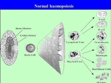 Normal haemopoiesis. ABNORMALITIES IN THE HEMOPOIETIC SYSTEM CAN LEAD TO HEMOGLOBINOPATHIES HEMOPHILIA DEFECTS IN HEMOSTASIS/THROMBOSIS HEMATOLOGICAL.