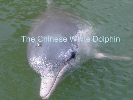 The Chinese White Dolphin