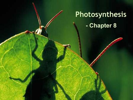 Photosynthesis - Chapter 8. Spinach Chromatography As the alcohol travels up the filter paper it carries leaf pigments. The small pigments travel farthest.