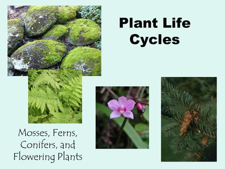 Plant Life Cycles Mosses, Ferns, Conifers, and Flowering Plants.