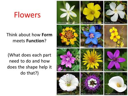 Flowers Think about how Form meets Function? (What does each part need to do and how does the shape help it do that?)