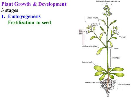 Plant Growth & Development 3 stages 1.Embryogenesis Fertilization to seed.