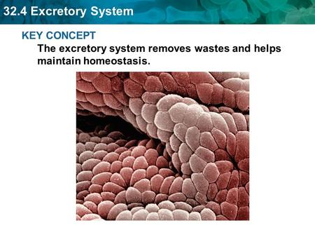 32.4 Excretory System KEY CONCEPT The excretory system removes wastes and helps maintain homeostasis.