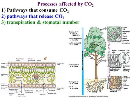 Processes affected by CO 2 1) Pathways that consume CO 2 2) pathways that release CO 2 3) transpiration & stomatal number.