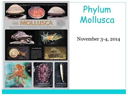 November 3-4, 2014 Phylum Mollusca. Conch Squid Nudibranch Chiton Clams, Oysters Octopus.