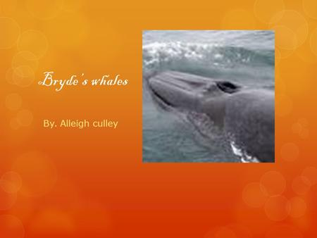 Bryde's whales By. Alleigh culley. Length and Weight  The length of a male is13.7 meters and a female is 14.5 meters. The weight of Bryde's Whales is.