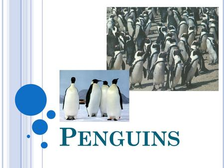 P ENGUINS. The penguin is a bird which lives on a cold continent. It can't fly but it is a champion in swimming.