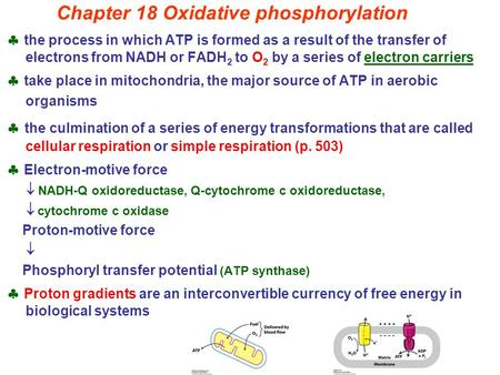 Chapter 18 Oxidative phosphorylation  the process in which ATP is formed as a result of the transfer of electrons from NADH or FADH 2 to O 2 by a series.