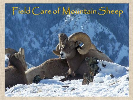 Field Care of Mountain Sheep. Avoid dragging your sheep If the sheep must be moved, roll it onto a heavy tarp before dragging Lifting the sheep is ideal.