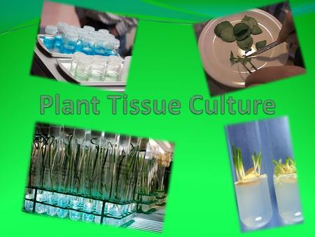 What is Tissue Culture A very technical method of asexual propagation The growing of plantlets from small pieces of plant tissue from a parent plant.