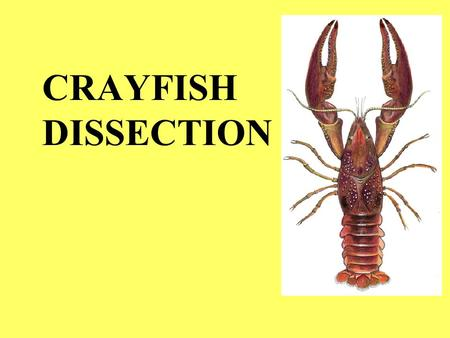 CRAYFISH DISSECTION.