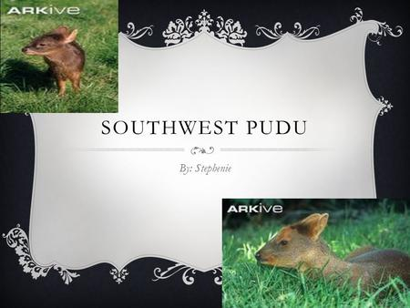 SOUTHWEST PUDU By: Stephenie.  The place where the Southern Pudu lives is in South America. HABITAT AND COLOR  The color of the Pudu is brown, black,