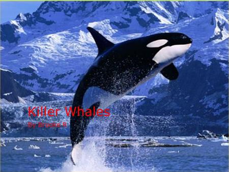 Killer Whales By Brooke R.. Physical Characteristics TThey are black and white TThey have a dorsal fin on back and flipper on each side TThey can.