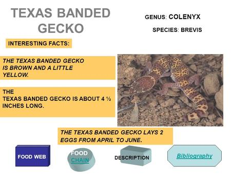 TEXAS BANDED GECKO GENUS: COLENYX SPECIES: BREVIS INTERESTING FACTS: FOOD CHAIN FOOD WEB DESCRIPTION THE TEXAS BANDED GECKO IS BROWN AND A LITTLE YELLOW.