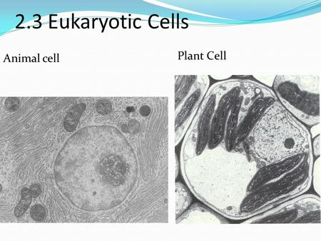 2.3 Eukaryotic Cells Plant Cell Animal cell.