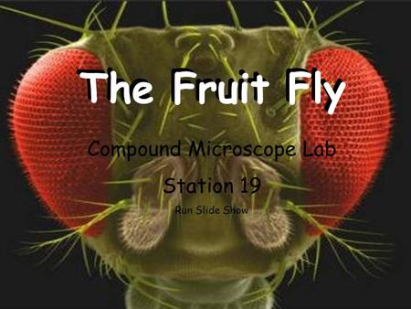 The Fruit Fly Compound Microscope Lab Station 19 Run Slide Show.