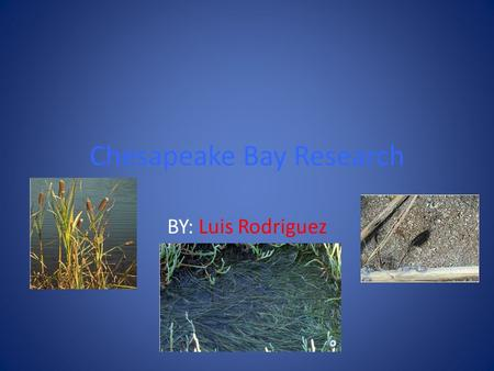 Chesapeake Bay Research BY: Luis Rodriguez. Why is it important to have a variety of animals in the bay? The sea roaches help the bay by making it clean.