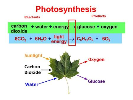 Photosynthesis + water + energy  glucose + oxygen carbon dioxide 6CO 2 6H 2 O C 6 H 12 O 6 6O 2 light energy  +++ Reactants Products.