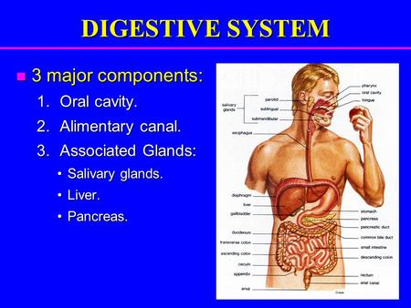 DIGESTIVE SYSTEM 3 major components: 3 major components: 1.Oral cavity. 2.Alimentary canal. 3.Associated Glands: Salivary glands.Salivary glands. Liver.Liver.