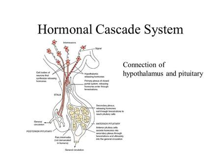 Hormonal Cascade System Connection of hypothalamus and pituitary.