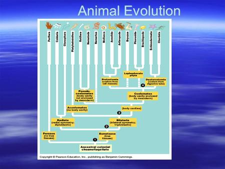 Animal Evolution. The Basics  Animals = multicellular, heterotrophic  Life history: – Sexual w/ flagellated sperm/nonmotile egg –Development: cleavage,