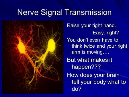 Nerve Signal Transmission Raise your right hand. Easy, right? You don't even have to think twice and your right arm is moving…. But what makes it happen???