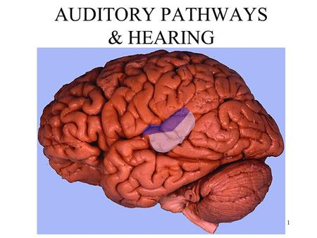 Anthony J Greene1 AUDITORY PATHWAYS & HEARING. Anthony J Greene2.