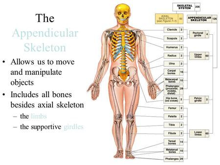 The Appendicular Skeleton Allows us to move and manipulate objects Includes all bones besides axial skeleton: –the limbs –the supportive girdles.