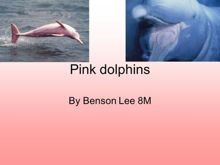 Pink dolphins By Benson Lee 8M. What are pink dolphins? Also known as the Chinese white dolphin and the Indo-Pacific humpback dolphin, the pink dolphins.