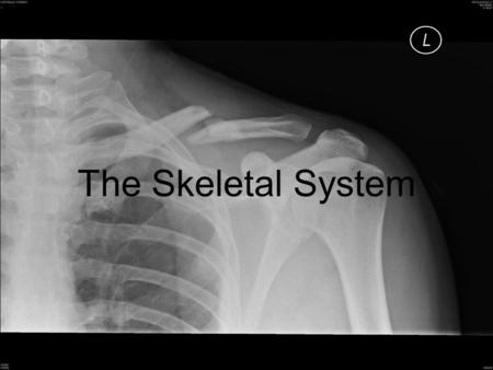 The Skeletal System. 206 bones in adult human (about 300 in babies) Functions of the skeleton –Support –Protection for internal organs (heart, brain,