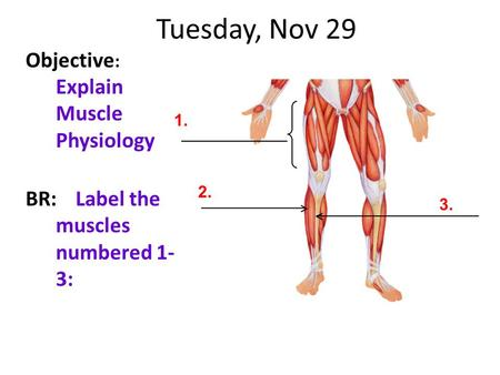Tuesday, Nov 29 Objective : Explain Muscle Physiology BR:Label the muscles numbered 1- 3: 1. 2. 3.